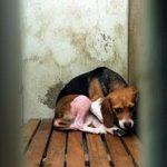 Petizione contro la vivisezione e la sperimentazione sugli animali E' ORA DI DIRE BASTA! CHIUDIAMO GREEN HILL