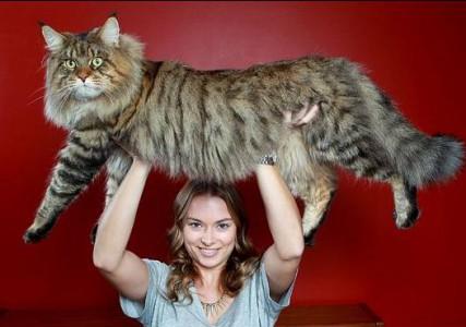 è morto Stewie, il gatto più lungo del mondo