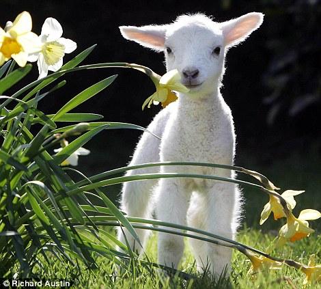6 motivi per non mangiare agnello a pasqua immagini shock - Libero stampabile roba pasqua stampabile ...