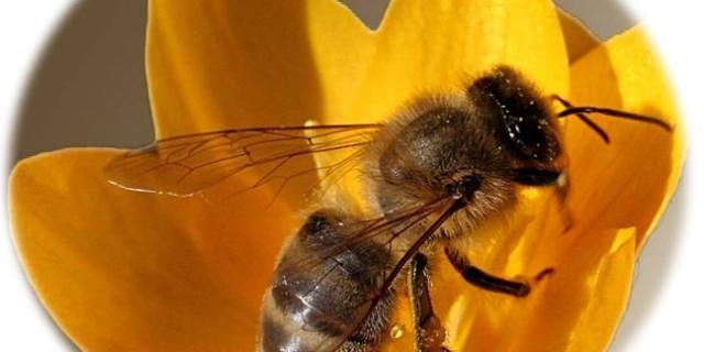 Veleno d'ape contro l'HIV