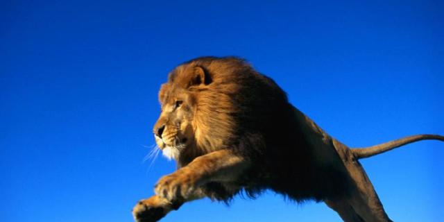 Fanno sesso nella savana: un leone li attacca.