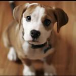 Il cane che protegge la padrona incinta [VIDEO]