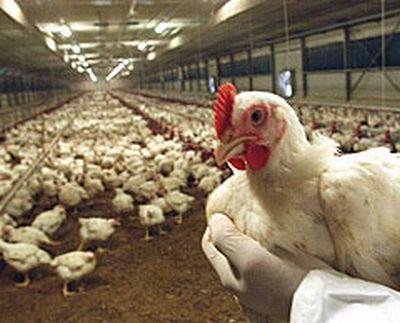 Influenza Aviaria: torna la paura. Un caso confermato in Emilia Romagna