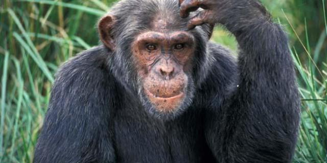 """Scienza shock: """"La specie umana è nata dall'unione di un scimpanzè con un suino"""""""