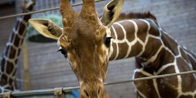Orrore in Danimarca, la giraffa Marius uccisa nello zoo di Copenaghen [FOTO]