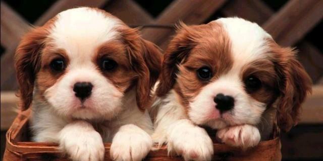 Boom rapimento cani: destinati alla vivisezione e ai combattimenti