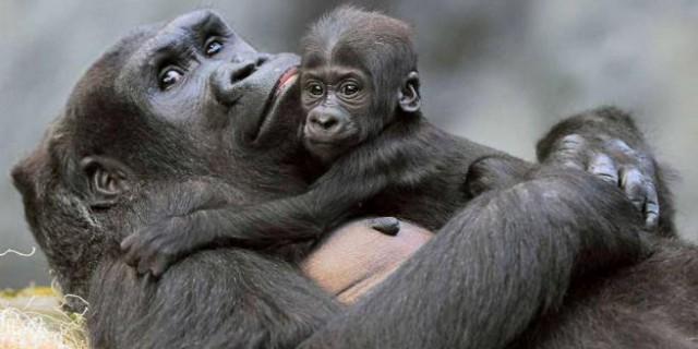 Chicago: la cucciola di gorilla ora ha un nome. Si chiama Nora