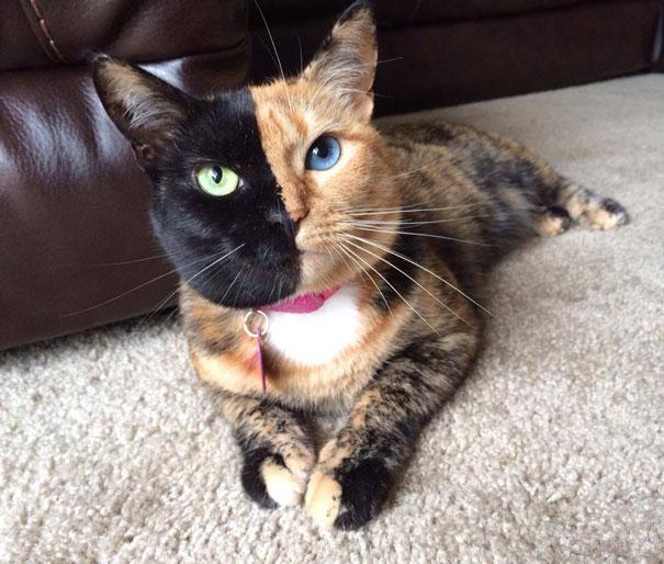 Il Gatto Con Due Facce Più Bello Del Mondo Foto Roba Da Donne
