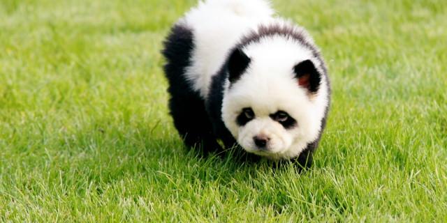 Cani Truccati da Panda al Circo Orfei