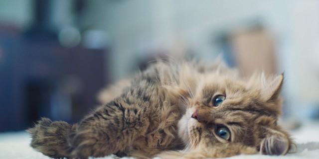 Ecco Perché i Gatti sono Disobbedienti, lo Spiega la Scienza