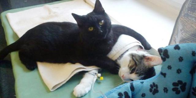 Radamenes, il Gatto Infermiere che Assiste i Malati