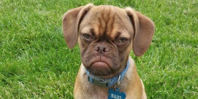 Dite Addio a Grumpy Cat: Ecco a Voi Grumpy Dog