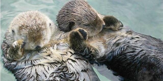 come dormono le lontre