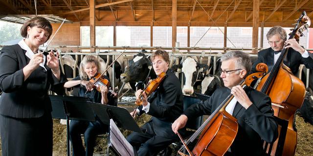 le mucche amano la musica
