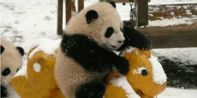 uccidere panda cina reato