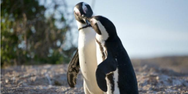 dichiarazioni amore pinguini