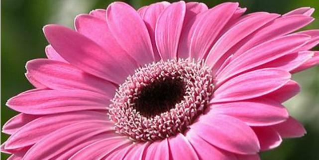 linguaggio dei fiori gerbere