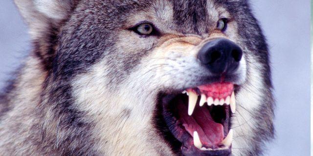 """Perché si dice """"in bocca al lupo"""" e perché, in alcuni casi, è giusto rispondere """"crepi"""""""