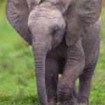 Ecco perché stanno nascendo elefantini senza zanne