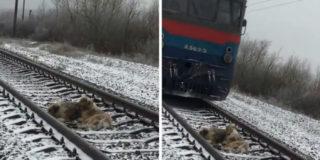 Cane coraggioso salva la sua amica ferita dai binari ferroviari