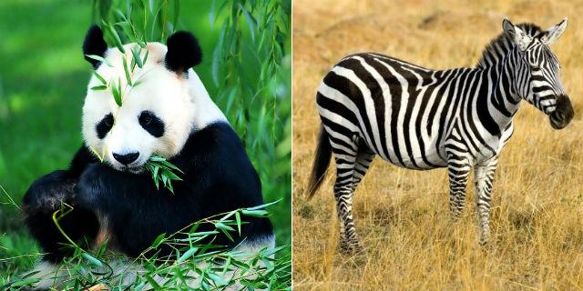 Perché i panda hanno le macchie e le zebre hanno le strisce?