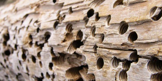 tarme del legno