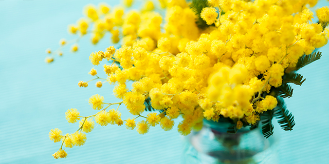Perché la mimosa è il fiore della festa della donna?