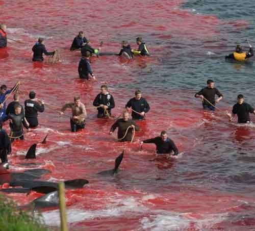 Cos'è il Grindadráp, la mattanza delle balene nelle isole Faroe