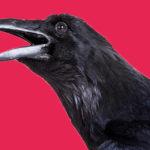 La necrofilia di pinguini e corvi, che fanno sesso con i loro simili morti