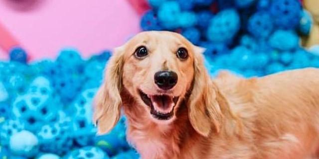 Il primo museo per cani apre a New York tra ciotole giganti e cuccioli in adozione