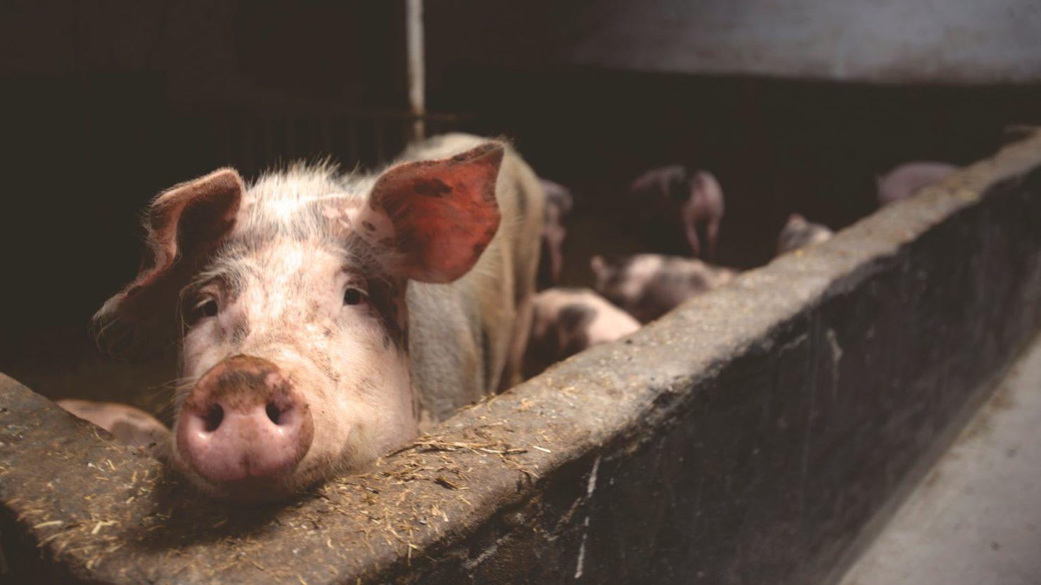 Oroscopo Cinese Maiale 2019 capodanno cinese 2019: l'anno del maiale di terra - roba da