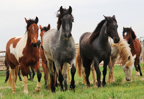 Perché in America regalano 1000 $ a chi sceglie di adottare un cavallo selvatico