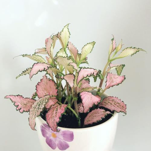 11 piante rosa che arredano e danno colore alla casa