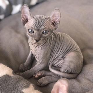 La bellezza inquietante degli Sphynx, i gatti sfinge, e 15 cose curiose su di loro