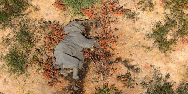 L'inquietante carneficina: perché 356 elefanti sono morti all'improvviso