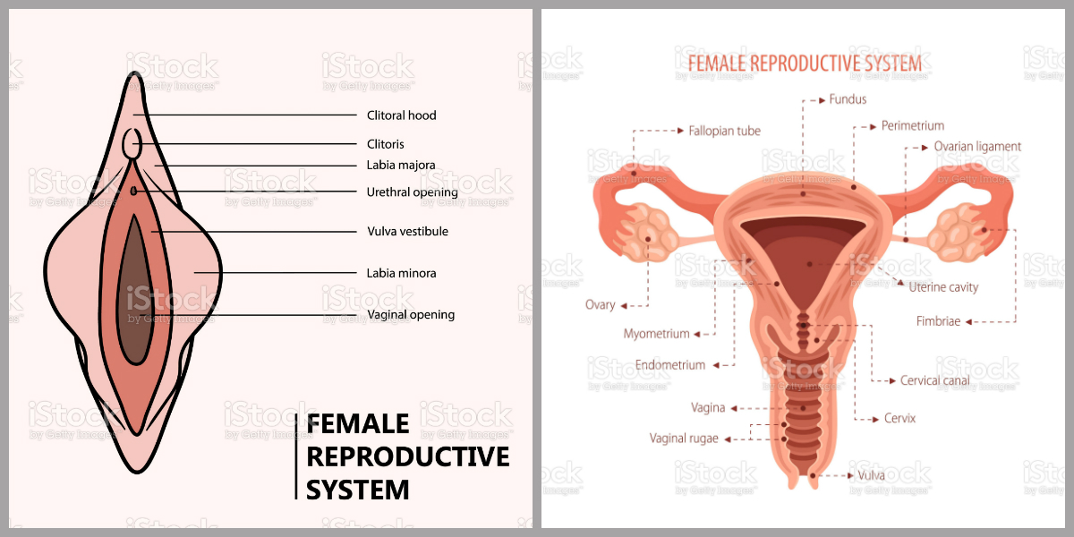 apparato riproduttivo femminile