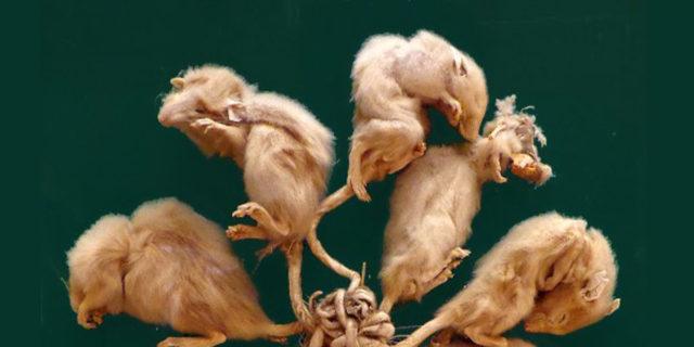 """Cos'è il """"re dei ratti"""", un fenomeno reale oppure una leggenda?"""