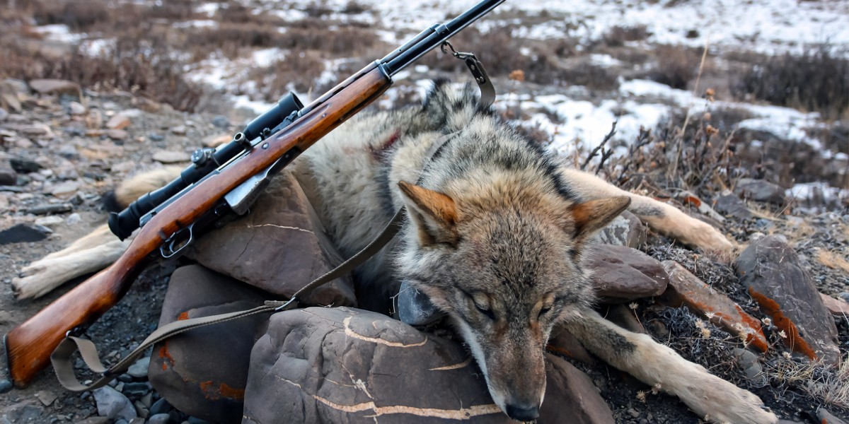 Lupo e caccia