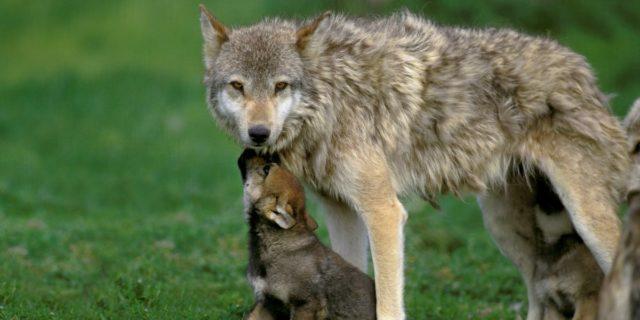 Perché nell'Idaho c'è una proposta di legge che punta a uccidere il 90% dei lupi