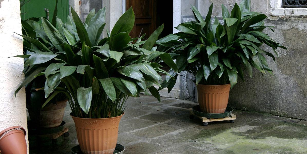 aspidistra piante in casa