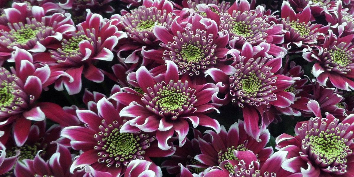 crisantemi piante in casa