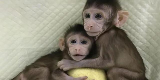Clonate due scimmie: è la prima volta con la tecnica della pecora Dolly