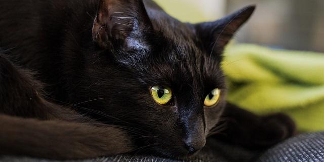 Aumentano Le Adozioni Di Gatti Neri Merito Del Film Black Panther