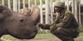 Morto l'ultimo esemplare di rinoceronte maschio bianco: ma forse non si estinguerà