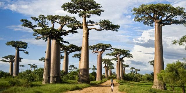 I baobab stanno scomparendo, colpa del clima?