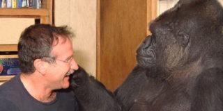 Keko è morta a 46 anni la gorilla che parlava la lingua dei segni e aveva Robin Williams come amico.