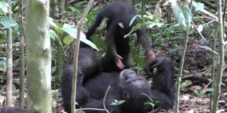 Tai Chimpanzee Project