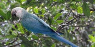 Addio all'ara di Spix, il pappagallo blu di Rio si è estinto in natura