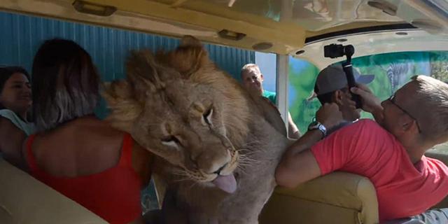 Il leone sale sull'auto... ma è solo per avere un po' di coccole