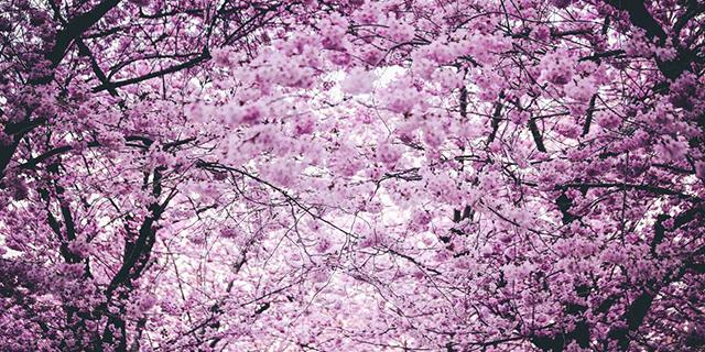 Lo spettacolo magnetico della fioritura dei ciliegi in Cina